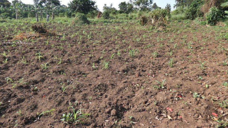Maispflanzen, Grundstück